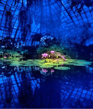 Lotus in Blue Greenhouse by