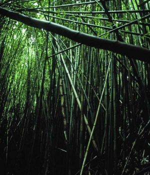 Bamboo Forest by