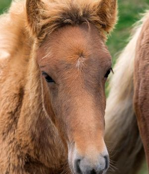 Icelandic Colt by