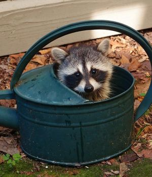 Raccoon Baby by