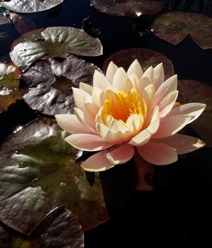 Water Lilly by