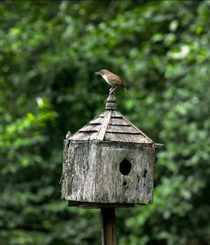 Wren On House by