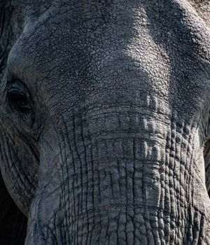 Elephant Close-up by