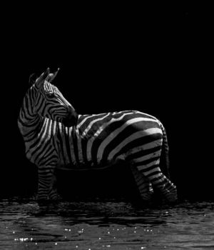The Striped Knight by
