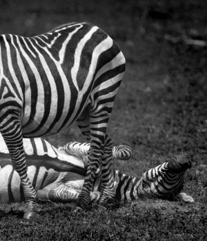 Nutty Zebra by