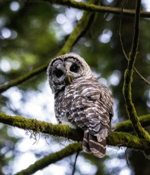 Barred Owl 2 by