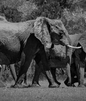 Traveling Elephants by