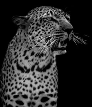 The Leopard by