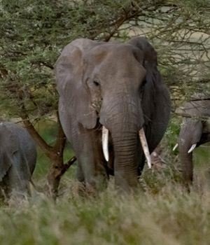 Elephants at Rest by