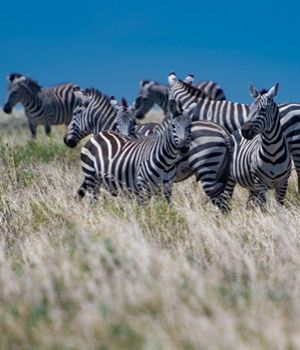 Zebra in the Field by