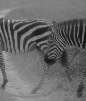 Zebras Crossing by
