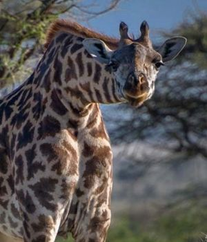 Curious Giraffe by