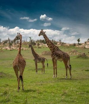 Giraffe Watch by