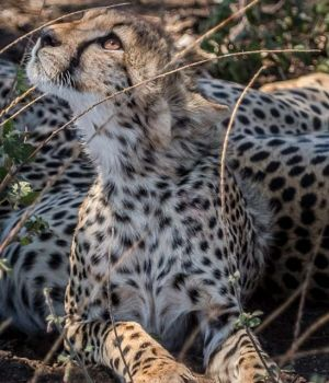 Cheetah Vision by