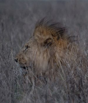 Lions in the Bush by