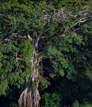 Majestic Tree by