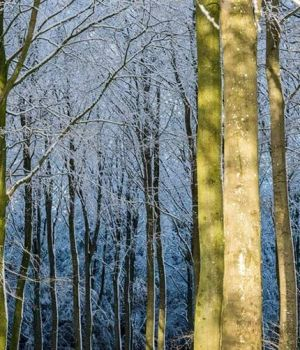 Winter Light in the Forest by