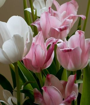 Easter Tulips by