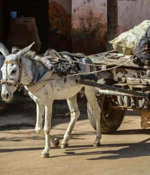 Donkey Cart, Egypt by