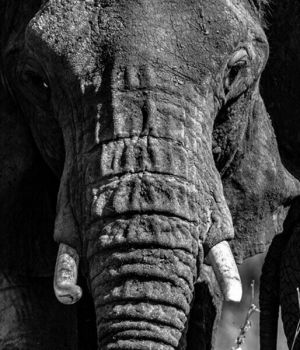 Elephant Matriarch by