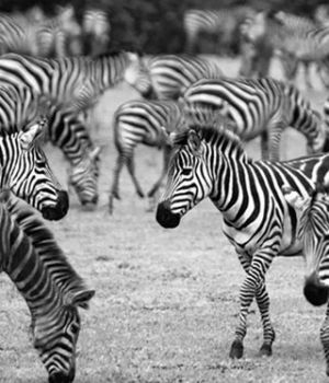 Zebra Herd by