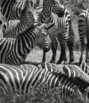 Zebras Watering Hole by