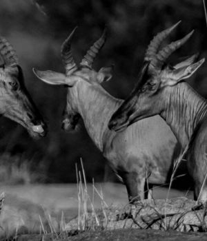 Antelopes Trio by