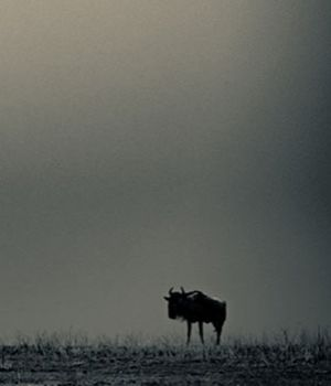 Lone Wildebeest by