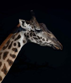 Giraffe Profile by