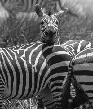 The Zebra Trio by