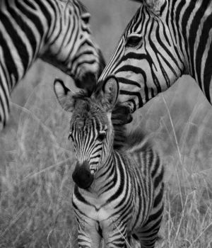 Zebra family by