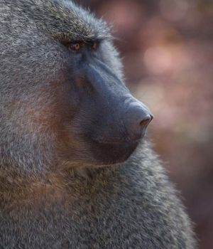 Profile of a Baboon by