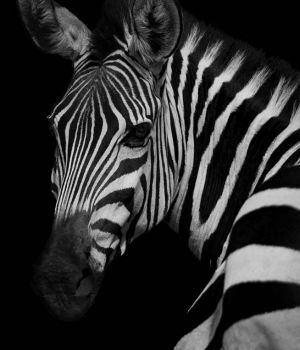 Profile of a Zebra by