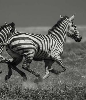Galloping Zebras by