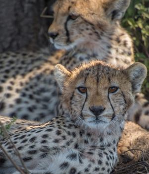 Cheetah Siblings by