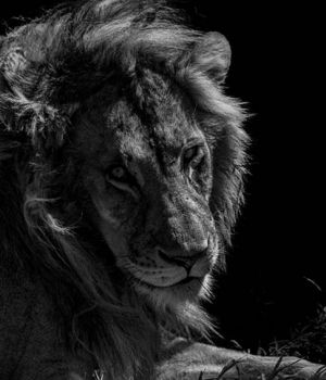 Lion Portrait by