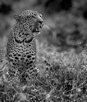 The Leopard 2 by