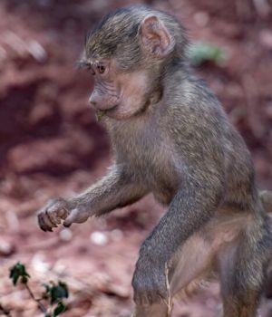 Baby Baboon by